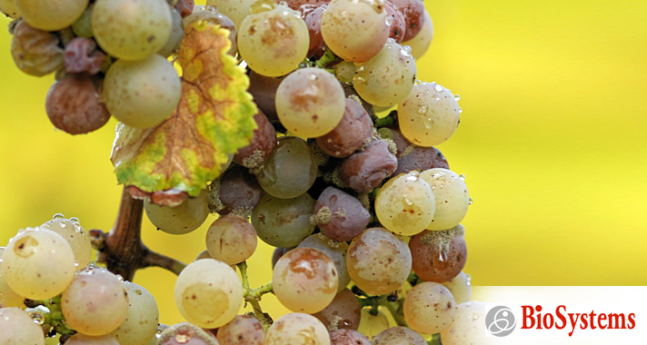 Monitoring for gluconic acid for botrytis affected grapes